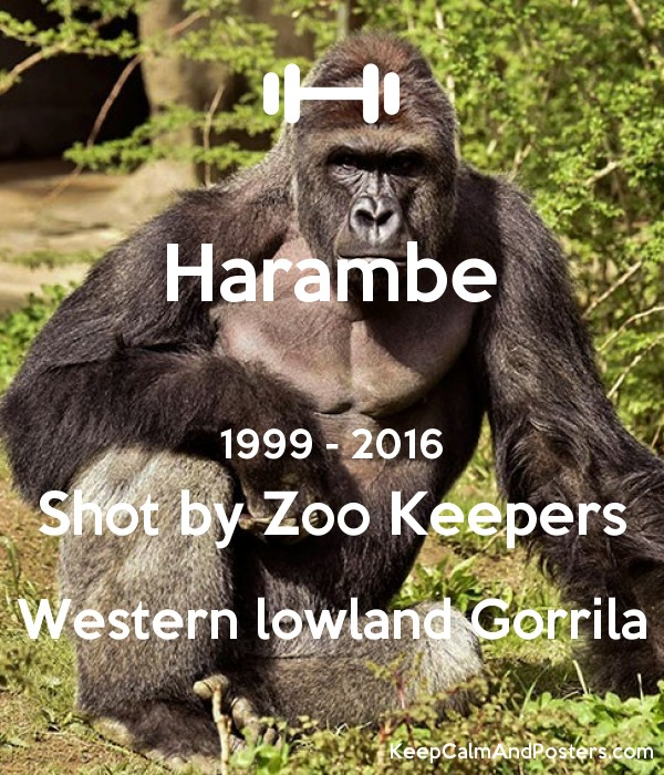 c2dafb053 Harambe 1999 - 2016 Shot by Zoo Keepers Western lowland Gorrila Poster